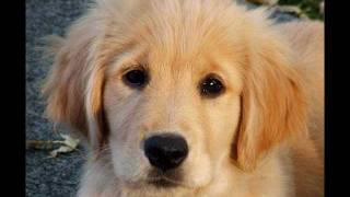It's simple: for all you cute animal lovers:acutelittlegoldenretrieverpuppyvideodesignedtomakeyousayaww...just when think the video cant get any cuter......