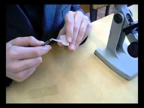 Как выглядит луковица под микроскопом