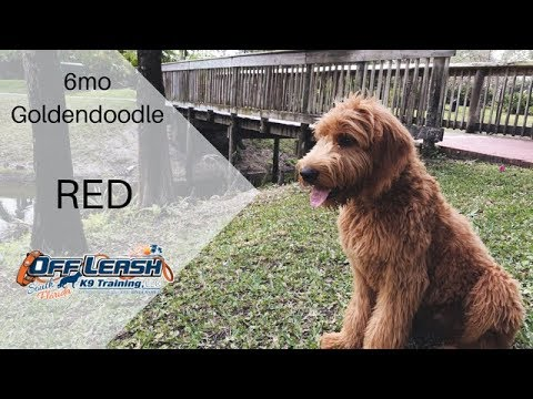 6MO OLD GOLDENDOODLE 'RED', 2 WEEK BOARD AND TRAIN PROGRAM