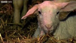 Lamb is born with Adam Henson - Lambing Live - BBC Two