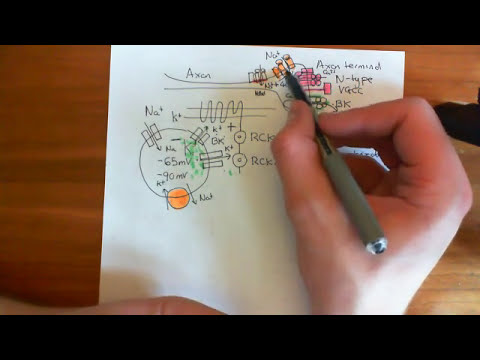 Calcium Gated Potassium Channels - The BK Channel