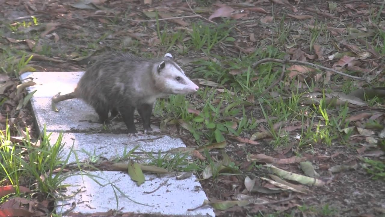 Possums mating in South Florida back yard - YouTube