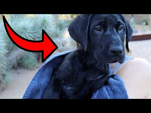 Labrador Puppy Learns To Swim!!
