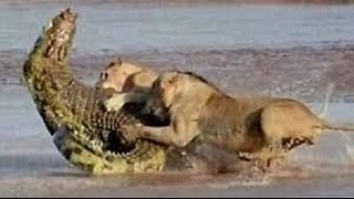 Lion Documentary   I, The Lion, KING OF KILL  All Time Classic Full Documentary HD 2016
