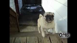 Pugs Hopping Up The Stairs