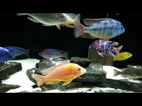 General Update on both the 75 Cichlid tank and the 37 Community tank.