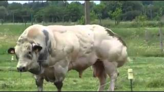 taureau blanc bleu belge