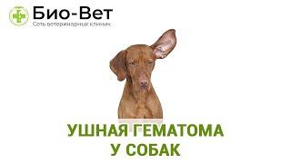 Ушная гематома у собак. Ветеринарная клиника Био-Вет.