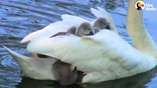 Swan Mom Carries ALL Her Babies Under Her Wing | The Dodo