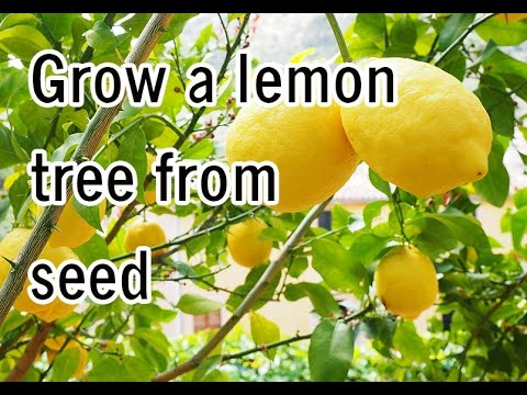 How to grow a lemon tree from seed the easy way youtube for Can i grow a lemon tree from lemon seeds