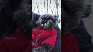 Affenpinscher dog breed #Affenpinscher #affenpinscherdog #puppyvideos #short
