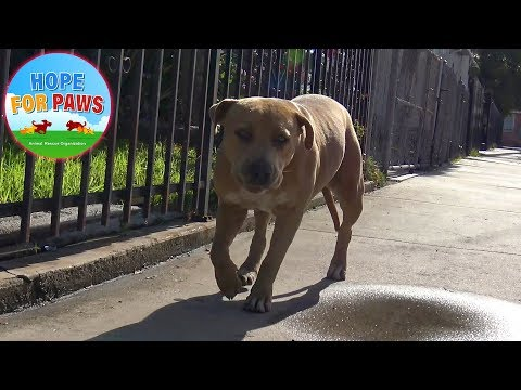 Abandoned PitBull has a WEIRD story... what do you think?