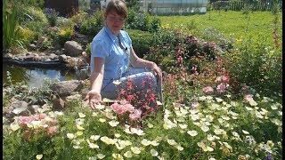 Выращивание аквилегии из семян в домашних условиях и в открытый грунт (фото и видео инструкция)