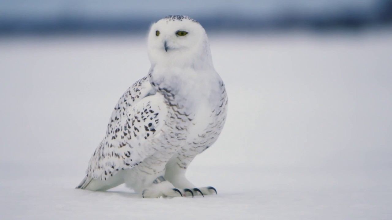 Snowy owl 15 seconds youtube snowy owl 15 seconds biocorpaavc Choice Image