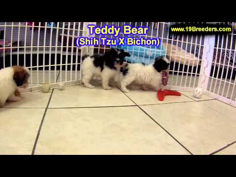 teddy-bear,-puppies,-for,-sale,-in,-edmond,-oklahoma,-ok,-cleveland,-comanche,-canadian,-rogers,-pay