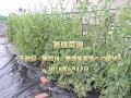 家庭菜園 夏野菜は順調に生育<不耕起・無肥料・無農薬栽培への復帰>2018年5月17日>