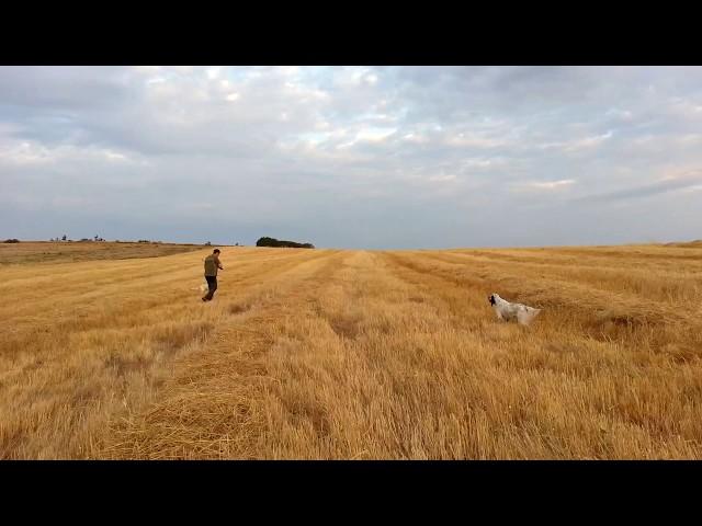Caza de codorniz con perro de muestra | Setter Inglés cazando codorniz (Parte 2)