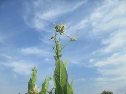 Обзор сорта Virginia Dark (Вирджиния темная) - купить семена табака