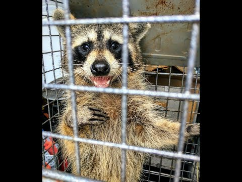 Raccoon Removal and Release in Melbourne Florida -On Point Wildlife Removal