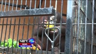 18 Orangutan Dalam Karantina di Bogor - NET24
