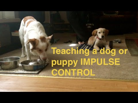 How to Teach Puppy Impulse Control during feeding-Basic Obedience Place Down Stay