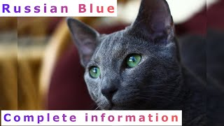 Russian Blue. Pros and Cons, Price, How to choose, Facts, Care, History