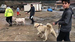 RİZE ÇAYELİNDE  KÖPEKLERLE YÜRÜYÜŞ YAPTIK #dogoargentino #akbaş #kangal #canecorso #rize #çayeli
