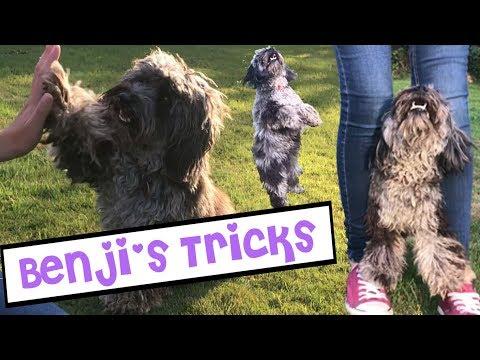 Benji's Tricks | Dog Training