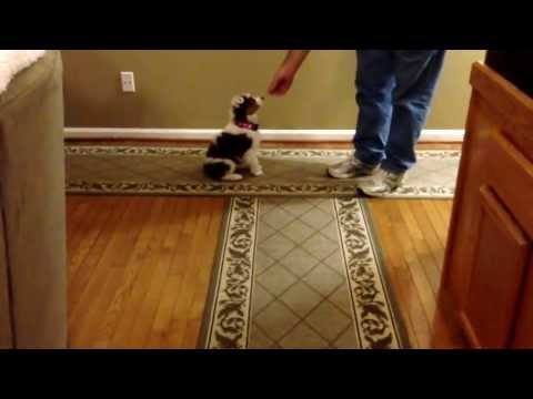 Basic Puppy Obedience Training at 8 Weeks