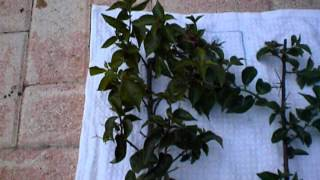 Propagating Bougainvillea Using Cuttings