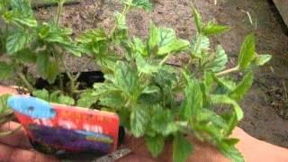 グランドカバーに向く花手毬の育て方と種類の紹介 動画作成:花の館 htt...