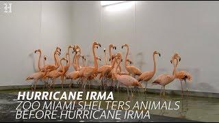 Zoo Miami shelters animals before Hurricane Irma