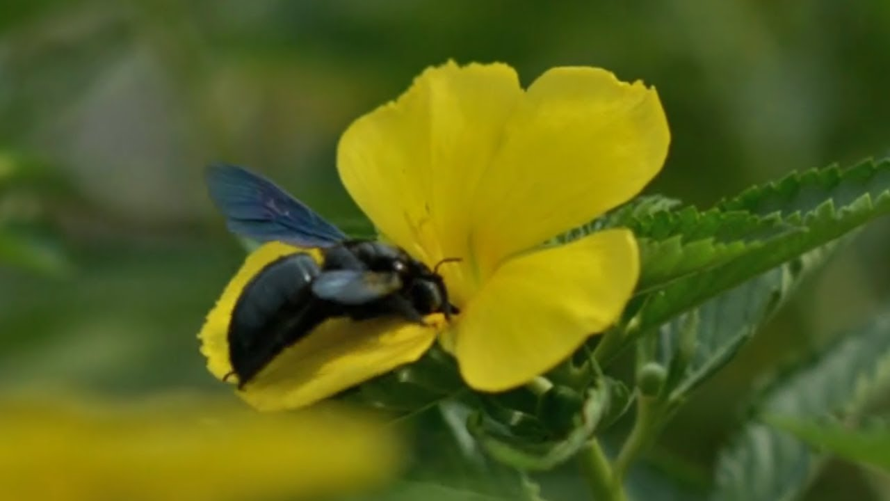 Beetle Pollinating Yellow Flower With 5 Petals Youtube