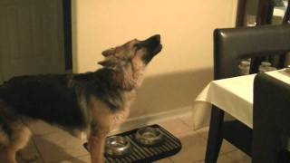 German Shepherd Howling At Siren