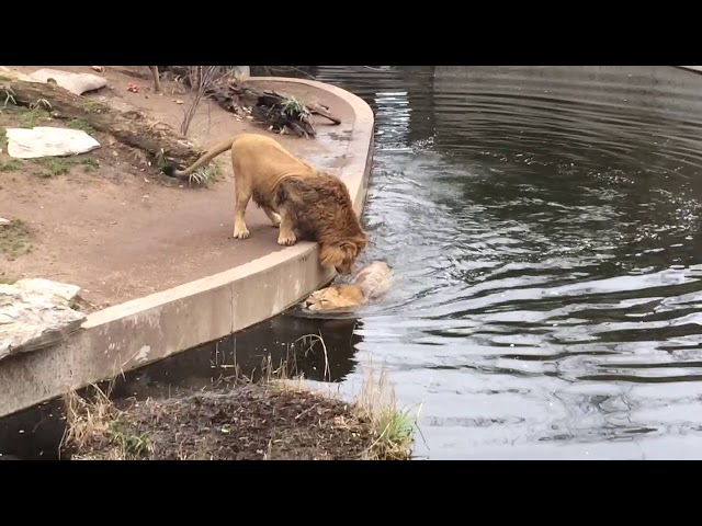 Stupid Lion falls into water FUNNY Löwe fällt ins Wasser