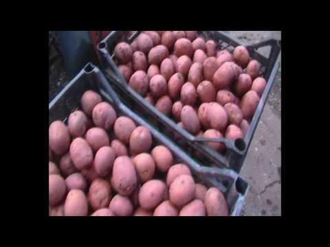 Обработка клубней картофеля перед посадкой.