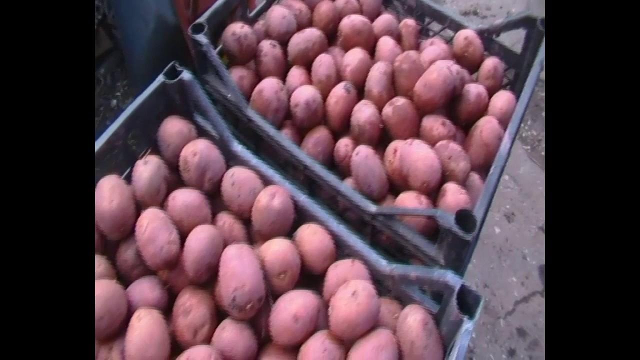 Обработка картофеля перед посадкой: чем и как, препараты