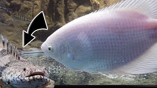 THE GIANT GOURAMI MEETS THE SECRET FISH
