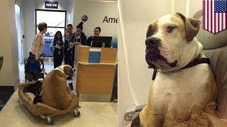 Бывшая «Девушка Плейбоя» покупает своей толстой собаке билет 1 класса