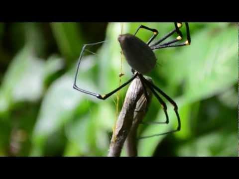 Cairns Spider Eats Snake (HD)