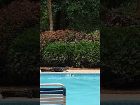 Joey Brooks - Alligator Fished Out of a Pool at Hilton Head Island, SC