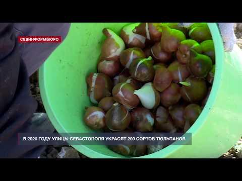 В Севастополе высадили 200 видов тюльпанов