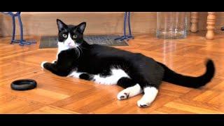 Tuxedo cat Rascal plays with toys! #tuxedocat #tuxedocatRascal #playfulcat