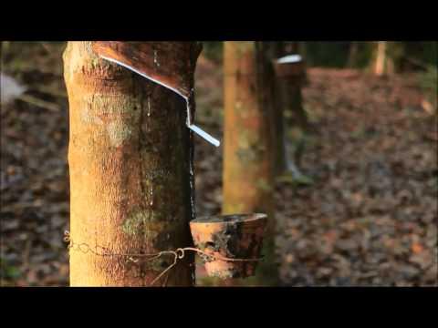 Rubber Milk Tapping In Vazhoor Kerala Doovi