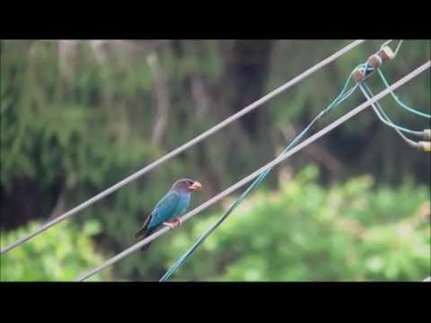 夏鳥 ブッポウソウ子育て中 Eurystomus orientalis  2012年