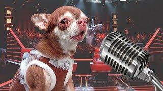 Собака пытается петь! Lil Nas X, Lady Gaga и Billie Eilish держитесь!