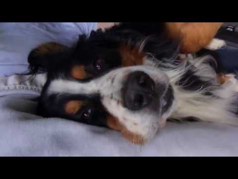 Sleeping Bernese Mountain Dog | Balou