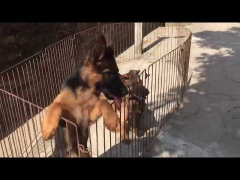 Puppies 3 months-German shepherd dog-GSD