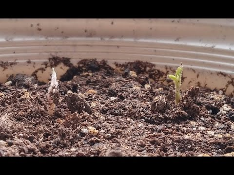 Growing Loquat Trees from Seeds, Days 0-42