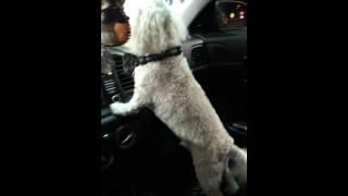 Poodle Guard Dog